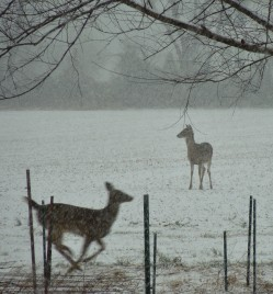 Deer in my snowy backyard, December 8, 2013