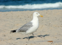 Herring gull on the beach (7-30-14)