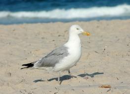 Herring gull on the beach (7-30-14)