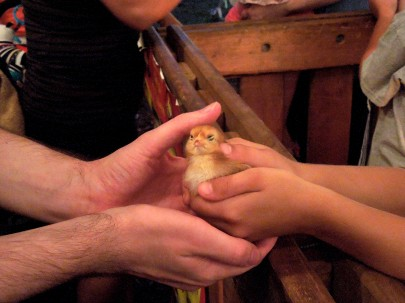 76 - Tom holding a chick, 7-18-14