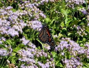 Monarch butterfly on blue mistflowers.