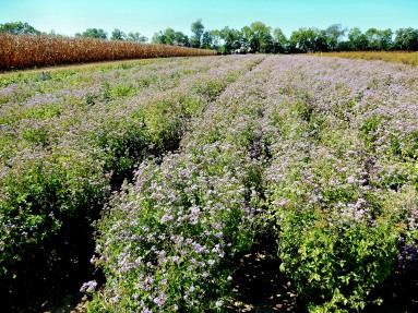 Field of perennial blue mistflower being grown for seed.