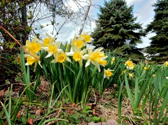 naturalized daffodils with white petals and yellow trumpets, blue spruce in the background 3-15