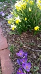 Purple crocuses and yellow daffodils