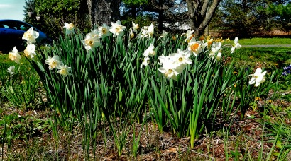 daffodils - The Author Chronicles - Top Picks Thursday, 4-13