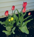 Red & yellow tulips in Author Chronicles writer Kerry Gans' garden