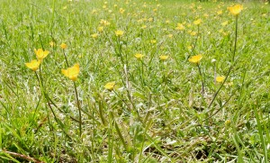 buttercups in the lawn, The Author Chronicles, J. Thomas Ross, inspiration