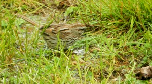 Song Sparrow bathing in a puddle, The Author Chronicles, J. Thomas Ross, inspiration