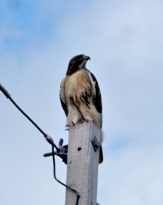 J. Thomas Ross, The Author Chronicles, red-tailed hawk on pole, red-tailed hawk in fall