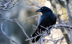 The Author Chronicles, J. Thomas Ross, raven in tree
