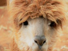 The Author Chronicles, J. Thomas Ross, face of brown llama