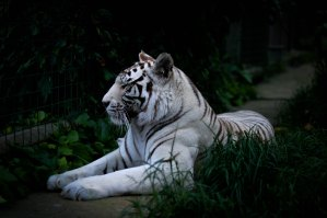 The Author Chronicles, J. Thomas Ross, white tiger lying down