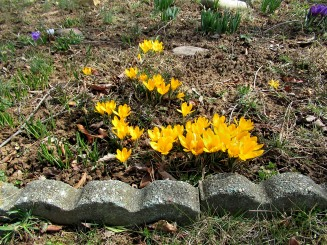 The Author Chronicles, J. Thomas Ross, yellow crocuses