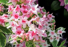 The Author Chronicles, J. Thomas, bee on pink flowers