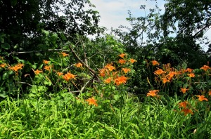 The Author Chronicles, J. Thomas Ross, roadside day lilies
