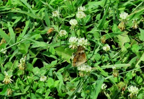 The Author Chronicles, Top Picks Thursday, J. Thomas Ross, butterfly and bee, clover, backyard visitors