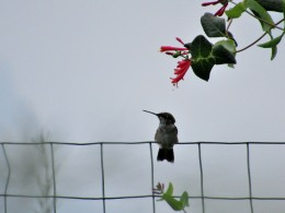 The Author Chronicles, Top Picks Thursday, J. Thomas Ross, native honeysuckle, hummingbird on fence