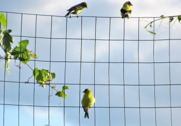 The Author Chronicles, J. Thomas Ross, Top Picks Thursday, goldfinches on the garden fence
