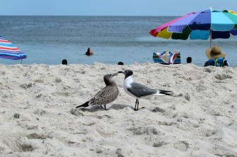 The Author Chronicles, J. Thomas Ross, Top Picks Thursday, Island Beach State Park, mother feeding young seagull