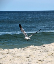 The Author Chronicles, J. Thomas Ross, Top Picks Thursday, Island Beach State Park, seagull landing on the beach