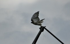 The Author Chronicles, J. Thomas Ross, hawk, hawk taking off from top of silo