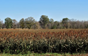 The Author Chronicles, J. Thomas Ross, Top Picks Thursday, ripe sorghum in field, November
