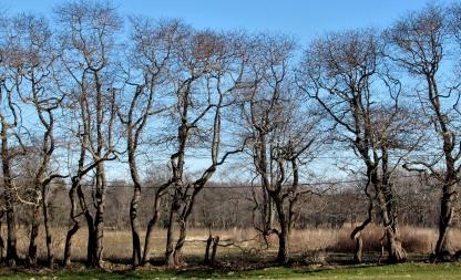 Top Picks Thursday, The Author Chronicles, J. Thomas Ross, hedgerow sassafras trees, winter trees
