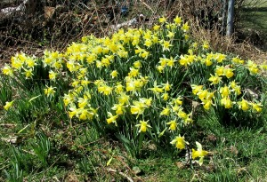 The Author Chronicles, Top Picks Thursday, J. Thomas Ross, a clump of late winter daffodils