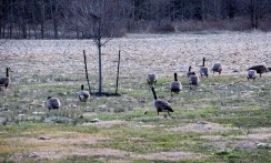 The Author Chronicles, Top Picks Thursday, J. Thomas Ross, Canadian geese, geese in the back yard