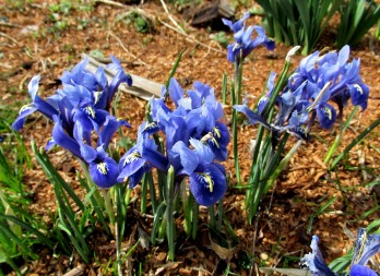 The Author Chronicles, Top Picks Thursday, J. Thomas Ross, late winter blue irises