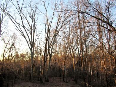 The Author Chronicles, Top Picks Thursday, J. Thomas Ross, winter tree trunks in early morning sun