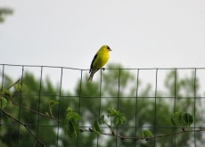 The Author Chronicles, Top Picks Thursday, J. Thomas Ross, goldfinch on garden fence