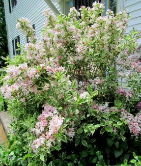 The Author Chronicles, Top Picks Thursday, J. Thomas Ross, spring-flowering bush