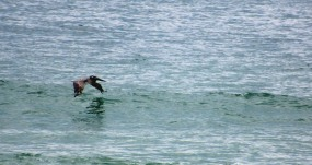 The Author Chronicles, Top Picks Thursday, J. Thomas Ross, Island Beach State Park, brown pelican flying low over the water