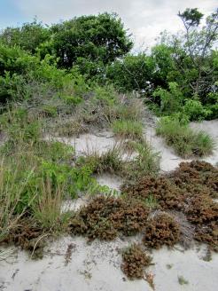 The Author Chronicles, Top Picks Thursday, J. Thomas Ross, Island Beach State Park, shore shrubs on sand dune