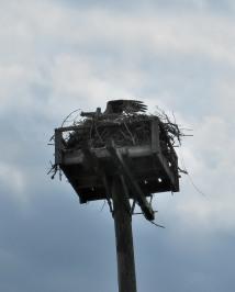 The Author Chronicles, Top Picks Thursday, J. Thomas Ross, Island Beach State Park, osprey landing in next box