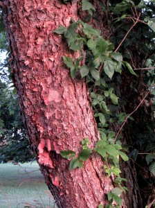 The Author Chronicles, Top Picks Thursday, J. Thomas Ross, August, poison ivy growing on river birch