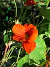 The Author Chronicles, Top Picks Thursday, J. Thomas Ross, orange nasturtium