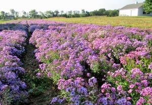 The Author Chronicles, Top Picks Thursday, J. Thomas Ross, purple wildflowers