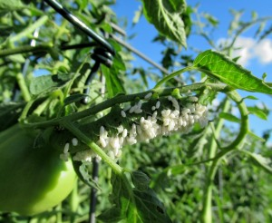The Author Chronicles, Top Picks Thursday, J. Thomas Ross, tomato hornworm with parasitic wasp eggs
