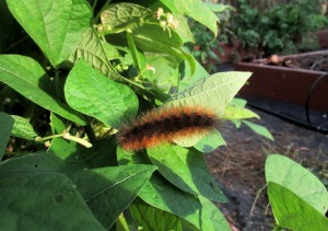 The Author Chronicles, Top Picks Thursday, J. Thomas Ross, woolly bear caterpillar