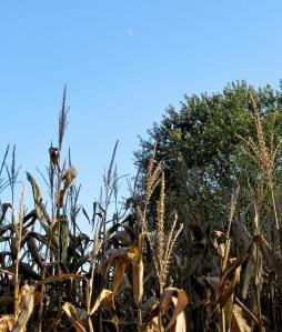 The Author Chronicles, Top Picks Thursday, J. Thomas Ross, faint fall moon above corn field
