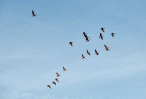 The Author Chronicles, Top Picks Thursday, J. Thomas Ross, geese flying in almost V