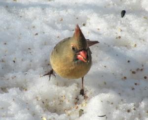 The Author Chronicles, Top Picks Thursday, J. Thomas Ross, female cardinal on snow