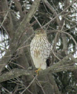 The Author Chronicles, Top Picks Thursday, J. Thomas Ross, red-tailed hawk in tree