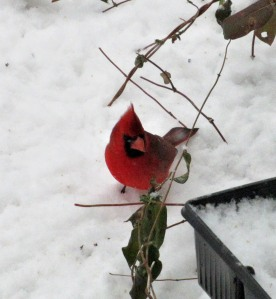 The Author Chronicles, Top Picks Thursday, J. Thomas Ross, male cardinal on snow