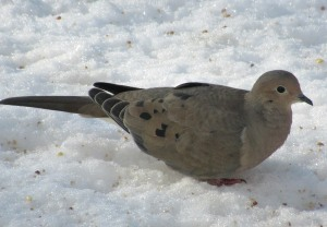 The Author Chronicles, Top Picks Thursday, J. Thomas Ross, mourning dove on snow