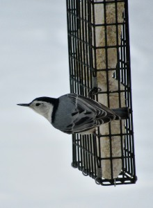 The Author Chronicles, Top Picks Thursday, J. Thomas Ross, white-breasted nuthatch on suet feeder