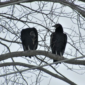 The Author Chronicles, Top Picks Thursday, J. Thomas Ross, vultures in tree