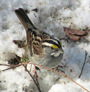 The Author Chronicles, Top Picks Thursday, J. Thomas Ross, white-throated sparrow on snow